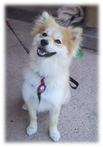 2 y/o Pomeranian up for adoption or foster